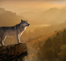 Les 5 meilleurs livres sur les loups
