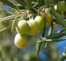 Les 5 meilleurs livres sur les oliviers